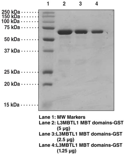 L3MBTL1 MBT domains (human recombinant, GST-tagged)