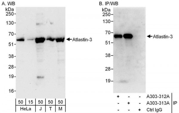 Anti-Atlastin-3