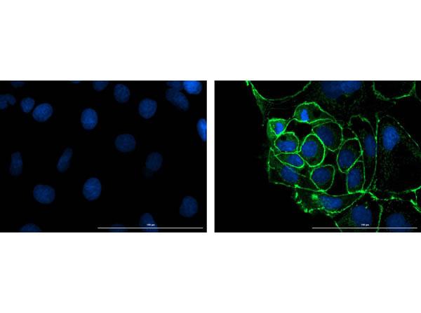 Anti-Rabbit IgG Fluorescein, clone eB182, Fluorescein Conjugated (Fluorescent TrueBlot®)