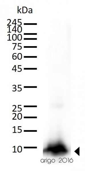 Cytochrome-C fractionation Antibody Panel (Cytochrome-C, COX IV, Tubulin)