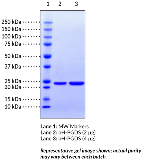 Prostaglandin D Synthase (hematopoietic-type, human recombinant)
