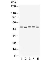 Anti-Galectin 8