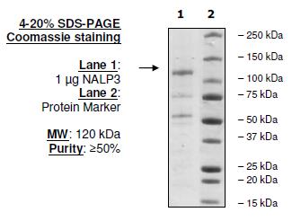 NALP3 (CIAS1) Human Recombinant Protein