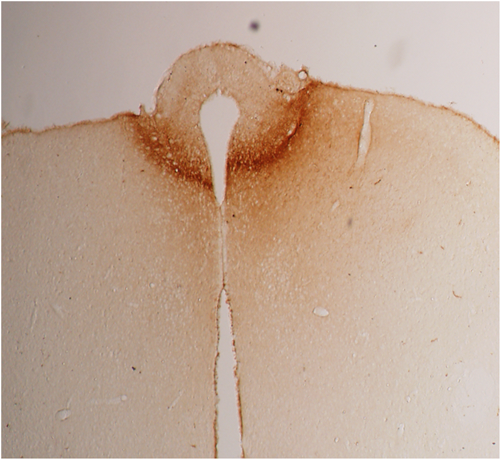 Anti-Adiponectin (rat)