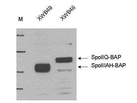 Anti-Biotin Ligase Tag (BLT) Epitope Tag
