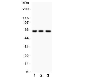 Anti-RELA NF-kB p65