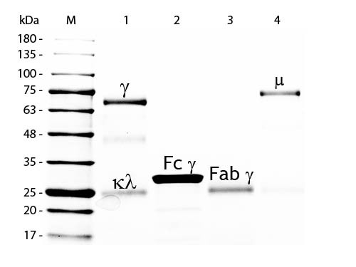 Chicken IgG F(C) Fragment, Peroxidase Conjugated