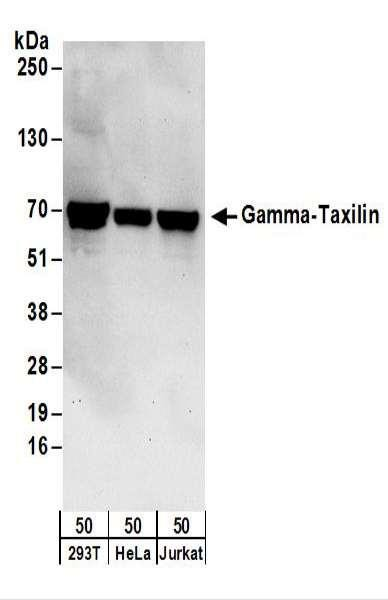 Anti-Gamma-Taxilin
