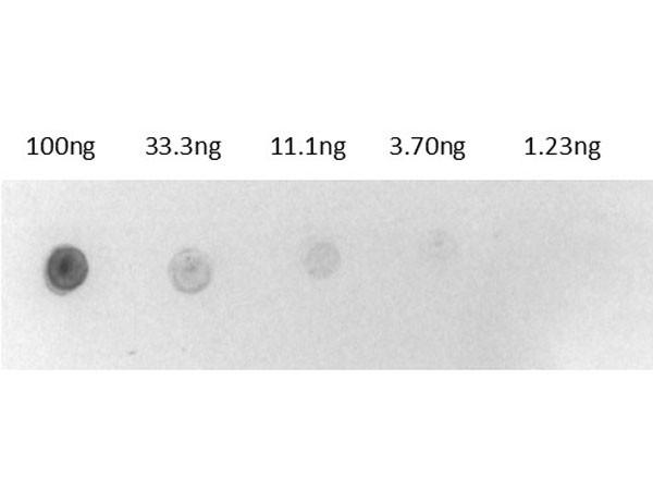 Biotin Alkaline Phosphatase Conjugate