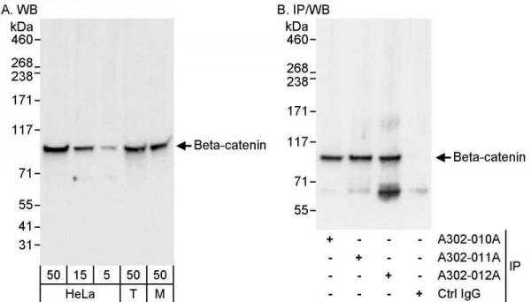 Anti-Beta-catenin