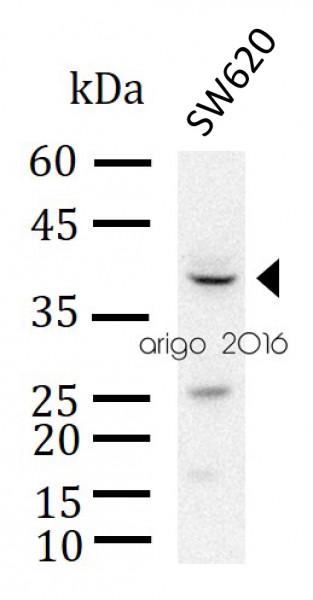 Anti-p38 MAPK, clone 9-B9