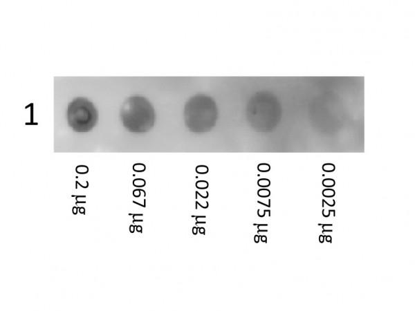 Human Albumin Biotin Conjugated