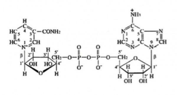 beta-NAD, Oxidized (Beta-NAD, Oxidized Form Beta-Nicotinamide-Adenine Dinucleotide, Oxidized Form (B