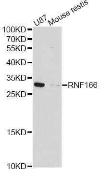 Anti-RNF166