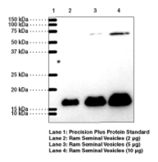 Anti-Prostaglandin E Synthase-1 (microsomal)