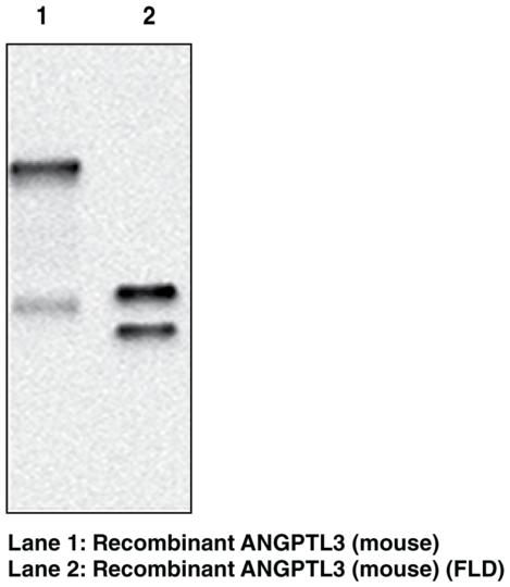 Anti-ANGPTL3 (mouse) (Clone Kairos3-3741)
