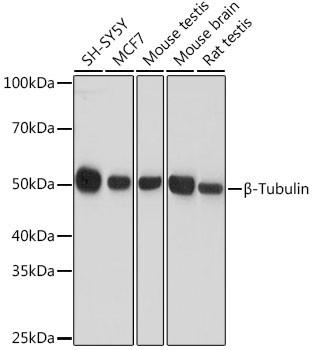 Anti-Beta-Tubulin (CABC008)