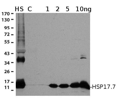 Anti-Hsp17.7