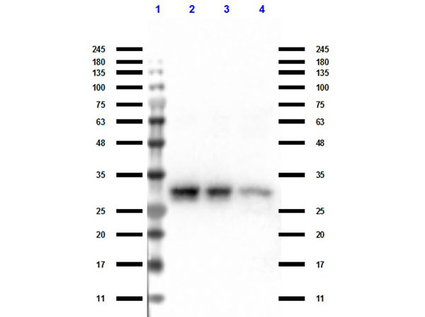 Western Blot of TrueBlot® Anti-Rabbit Ig IP Agarose Beads. Lane 1: Protein Standard Opal Pre-stained (p/n MB-210-0500). Lane 2: Rb-a-GFP Input. Lane 3: Rb-a-GFP Unbound. Lane 4: Rb-a-Elute. Primary Antibody: TrueBlot® Anti-Rabbit Ig IP Agarose Beads (00-8