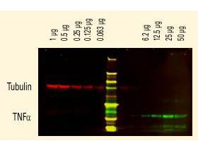 Anti-Sheep IgG (H&L) (Min X Ch GP Ham Hs Hu Ms Rb & Rt Serum Proteins), DyLight 800 conjugated