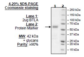 BTLA, Fc Fusion, Avi-Tag, Biotin-Labeled