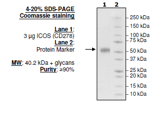 ICOS (CD278), Fc Fusion