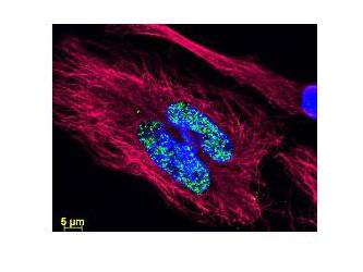 Anti-Goat IgG (H&L) (Min X Human Serum Proteins), DyLight 488 conjugated
