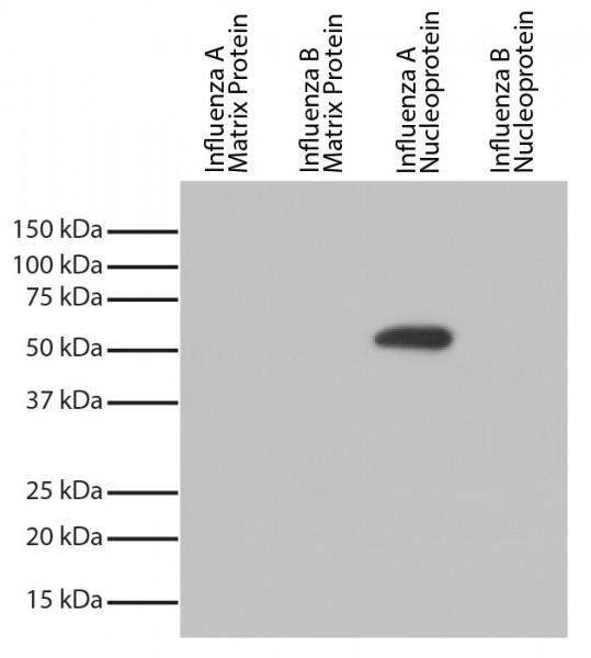 Anti-Influenza A nucleoprotein [FluA-NP 4F1], clone FluA-NP 4F1