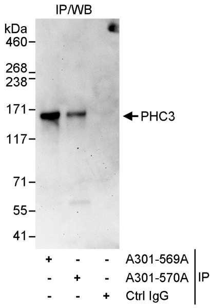 Anti-PHC3