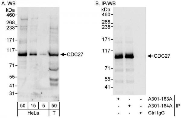 Anti-CDC27