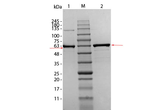 AKT1 mutant (T308A S473A) Human Recombinant Protein