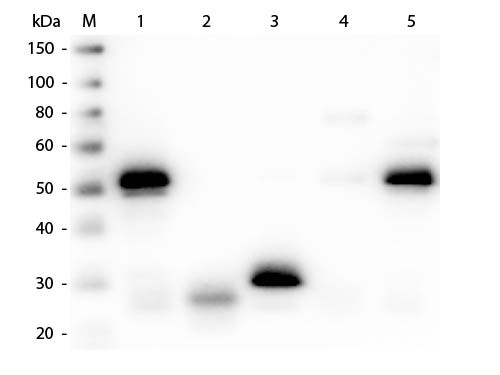 Anti-Rabbit IgG (H&L) (Min X Bv Ch Gt GP Hs Hu Ms Rt & Sh Serum Proteins), DyLight 549 conjugated