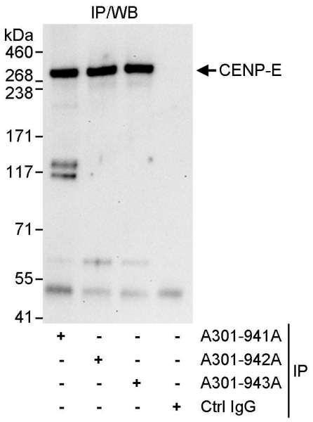 Anti-CENP-E