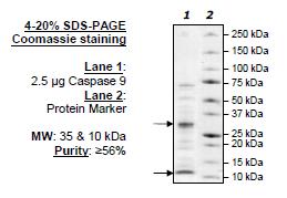 Caspase-9, human recombinant protein, C-terminal His-tag