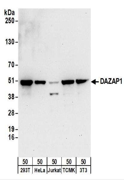 Anti-DAZAP1