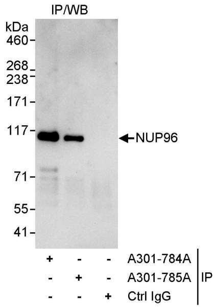Anti-NUP96