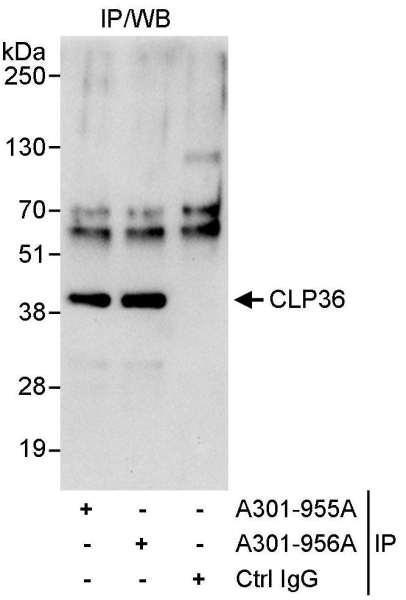 Anti-CLP36