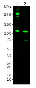 Anti-Complement component C3 (alpha chain, anaphylatoxin), clone 6B1