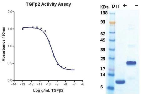 Transforming Growth Factor beta2 (TGF beta2), human recombinant (HumaXpress)