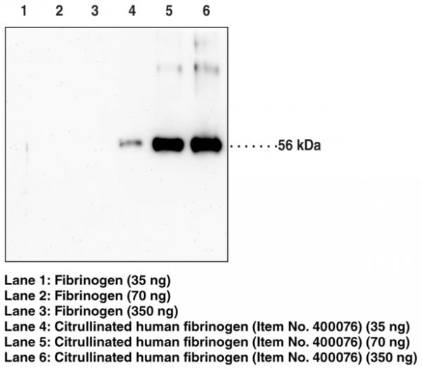 Anti-Citrullinated Fibrinogen (Clone 10E9.3)