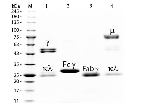 Rat IgM Whole Molecule Peroxidase Conjugated
