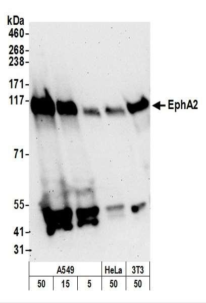 Anti-EphA2