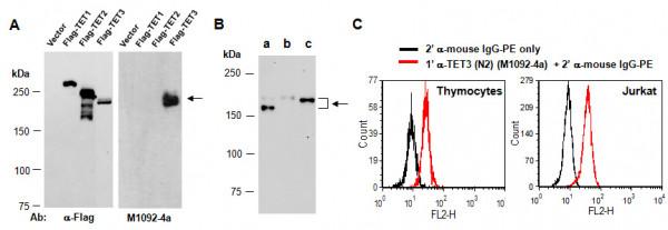 Anti-TET3 (N2), clone 2B7