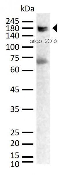 Anti-COL1A1