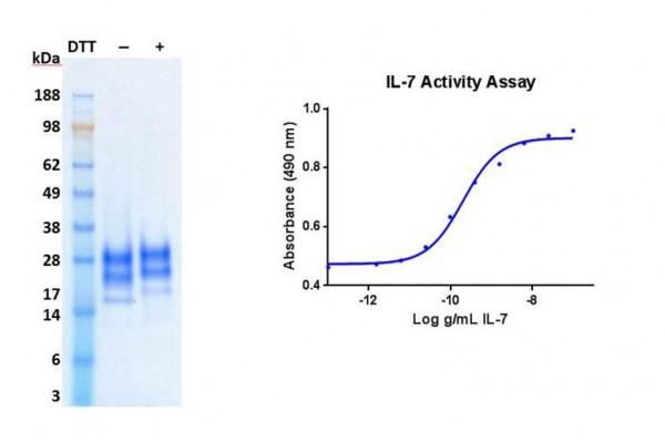 Interleukin-7 (IL-7), human recombinant (HumaXpress)