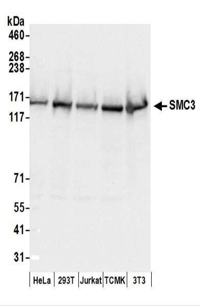 Anti-SMC3
