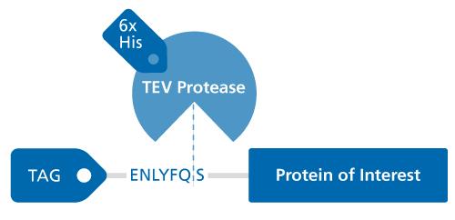 TEV-Protease