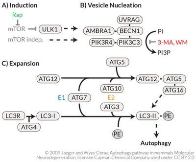 autophagy_pathway