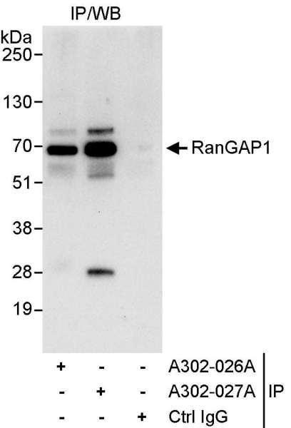 Anti-RanGAP1