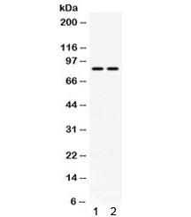 Anti-Phospholipase A2 / PLA2G4A / CPLA2